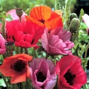 Papaver orientale Fruit Punch - Pack of THREE brightly coloured Poppy Plants