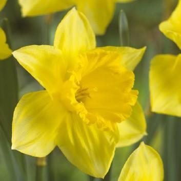 Narcissus Carlton - Daffodil