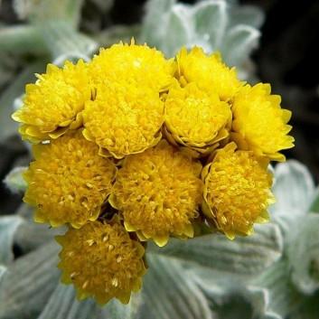 Helichrysum ambiguum 'Korma'
