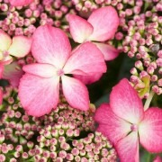 Hydrangea macrophylla Selina - Lacecap Hydrangea - Dutch Ladies Hortensia
