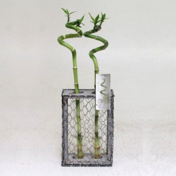 Twin Lucky Bamboo Spirals in Wire Display Cage