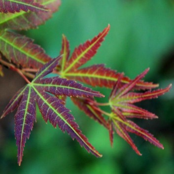 Acer palmatum Wendy - Japanese Maples