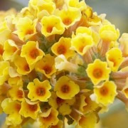 Buddleja x weyeriana 'Sungold' - Golden Yellow Flowered Butterfly Bush (Buddleia)