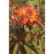 Euphorbia ''Fireglow''