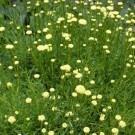 Santolina Rosmarinifolia 'Primrose Gem' - Cotton Lavender