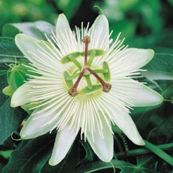 Passion Flower Constance Elliot - Passiflora