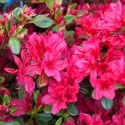Azalea japonica 'Red Bird' - Evergreen Japanese Azalea - Pack of THREE Plants