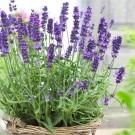 Lavendula angustifolia Hidcote - English Lavender Hidcote Blue - Pack of THREE Plants
