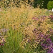 Stipa Gigantea - Golden Oats Grass - LARGE