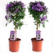 Pair of Beautiful Blue Flowering Patio Solanum rantonnetii Trees in Bud and Bloom