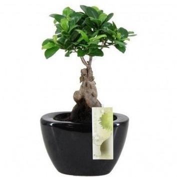 Ficus Ginseng Bonsai in Contemporary Black Ceramic Planter