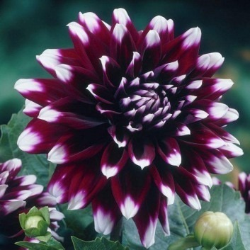 SPECIAL DEAL - Dahlia Mystery Day - Special Premium Variety - Pack of THREE