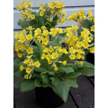 SPECIAL DEAL - Primula Cheshire Life - Pack of THREE Plants
