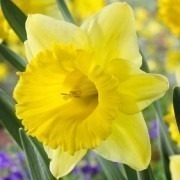 SPECIAL DEAL - Narcissus Kiss me - Daffodil - THREE lovely Potfulls