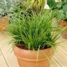 Carex morrowii Variegata - Pack of THREE