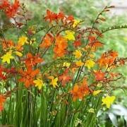 Crocosmia 'Molten Lava' - Mixed shades of Montbretia - Pack of THREE Plants