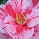 Camellia japonica Tomorrow