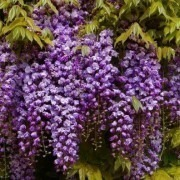 Wisteria floribunda Black Dragon - Double Flowering Wisteria Vine - Established 4ft Plants