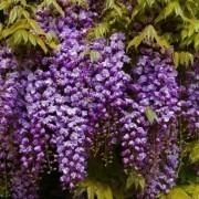 Wisteria floribunda Black Dragon - Double Flowering Wisteria Vine - Established 4ft Plants