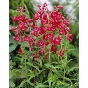 Penstemon King George