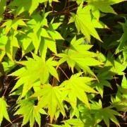 Acer palmatum Ueno Yama - Japanese Maple