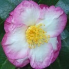 Camellia sasanqua Apple Blossom Bicolour
