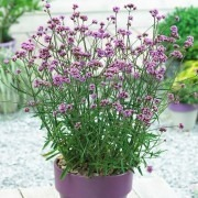 SPECIAL DEAL - Verbena bonariensis Lollipop - Pack of THREE Plants in Bud & Bloom