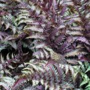 Athyrium niponicum pictum - Japanese Painted Fern