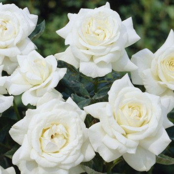 Rose Silver Wedding Celebration - Floribunda Rose