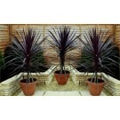 Cordyline Red Sensation - Stunning Torbay Palms - Pack of THREE Plants