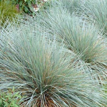 Helictotrichon sempervirens Sapphire - Blue Oat Grass